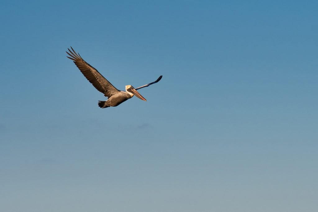 pelican in flight south carolina