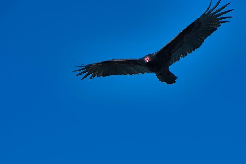 vulture hilton head island